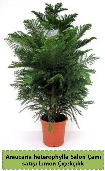 Salon Çamı Satışı Araucaria heterophylla  Eskişehir çiçek satışı