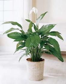 Eskişehir online çiçek gönderme sipariş  spatilyum ithal büyük boy