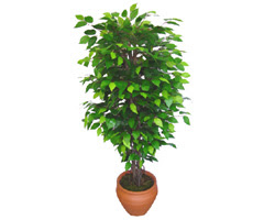 Ficus Benjamin 1,50 cm   Eskişehir anneler günü çiçek yolla