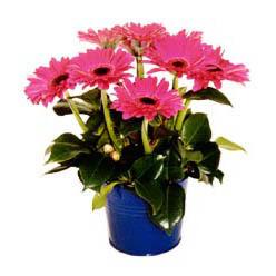vazo içerisinde gerbera çiçekleri   Eskişehir online çiçek gönderme sipariş