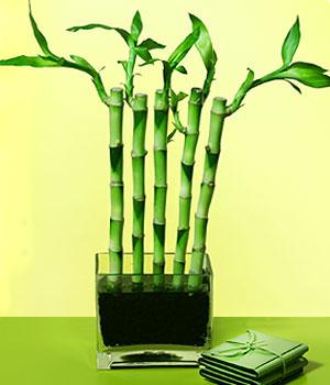 Eskişehir anneler günü çiçek yolla  Good Harmony Lucky Bamboo camda