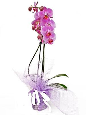 Eskişehir anneler günü çiçek yolla  Kaliteli ithal saksida orkide