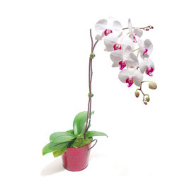 Eskişehir çiçek gönderme  Saksida orkide