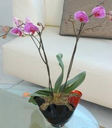 Eskişehir çiçekçi mağazası  tek dal ikili orkide saksi çiçegi