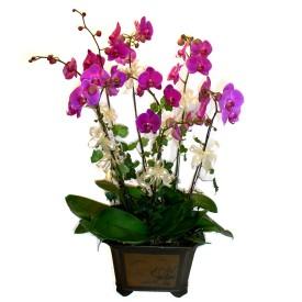 Eskişehir cicek , cicekci  4 adet orkide çiçegi