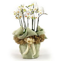 Eskişehir çiçek siparişi sitesi  3 dal orkide , saksi çiçegi , 3 kök orkide