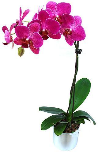 Eskişehir çiçekçi mağazası  saksi orkide çiçegi