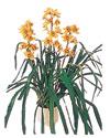 Eskişehir çiçekçiler  Orchiede ithal büyük boy saksi
