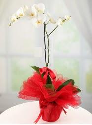 1 dal beyaz orkide saksı çiçeği  Eskişehir yurtiçi ve yurtdışı çiçek siparişi