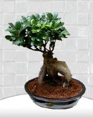 saksı çiçeği japon ağacı bonsai  Eskişehir kaliteli taze ve ucuz çiçekler