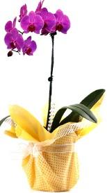 Eskişehir çiçek siparişi sitesi  Tek dal mor orkide saksı çiçeği