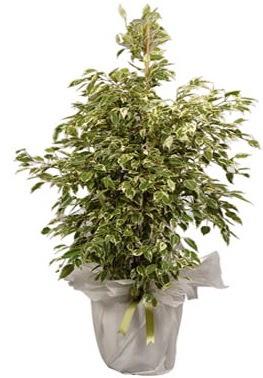Orta boy alaca benjamin bitkisi  Eskişehir internetten çiçek satışı