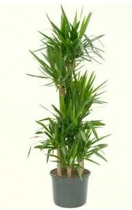 7 li yucca saksı bitkisi  Eskişehir çiçek servisi , çiçekçi adresleri