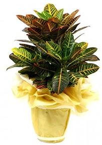 Orta boy kraton saksı çiçeği  Eskişehir 14 şubat sevgililer günü çiçek