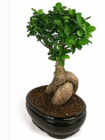 Bonsai saksı bitkisi japon ağacı  Eskişehir çiçek siparişi sitesi