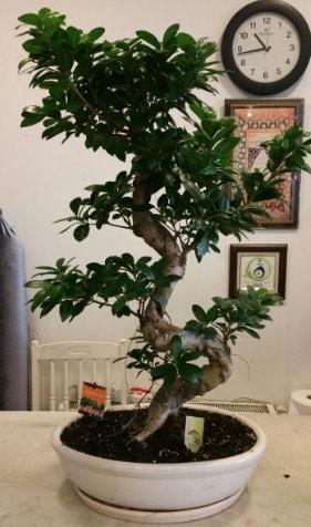 100 cm yüksekliğinde dev bonsai japon ağacı  Eskişehir İnternetten çiçek siparişi