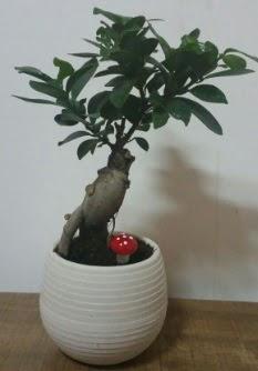 Bonsai japon ağacı saksı çiçeği  Eskişehir çiçek gönderme sitemiz güvenlidir