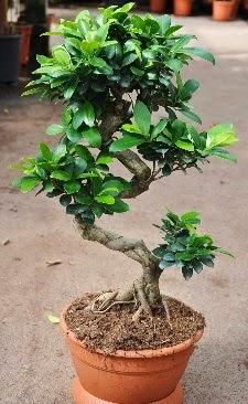 Orta boy bonsai saksı bitkisi  Eskişehir internetten çiçek siparişi