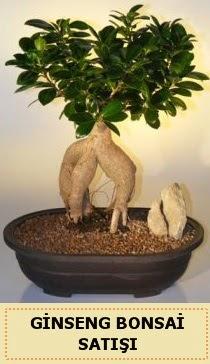 İthal Ginseng bonsai satışı japon ağacı  Eskişehir çiçek siparişi sitesi
