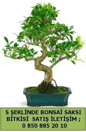 İthal S şeklinde dal eğriliği bonsai satışı  Eskişehir çiçek gönderme