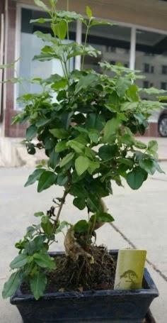 Bonsai japon ağacı saksı bitkisi  Eskişehir çiçek siparişi vermek
