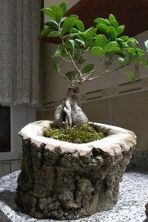 Ahşap kütük içerisinde ginseng bonsai  Eskişehir internetten çiçek siparişi