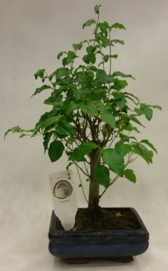 Minyatür bonsai japon ağacı satışı  Eskişehir çiçekçi telefonları