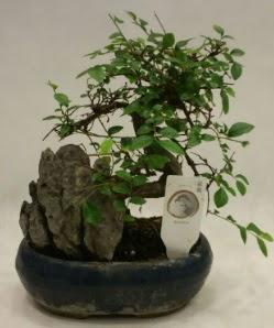 İthal 1.ci kalite bonsai japon ağacı  Eskişehir çiçek satışı