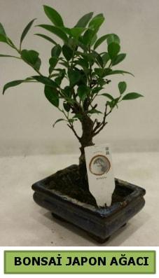 Bonsai japon ağacı saksı bitkisi  Eskişehir çiçek servisi , çiçekçi adresleri