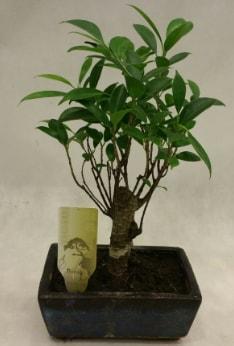 Japon ağacı bonsai bitkisi satışı  Eskişehir çiçekçi telefonları