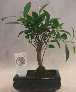Bonsai japon ağacı bitkisi satışı  Eskişehir çiçek gönderme sitemiz güvenlidir