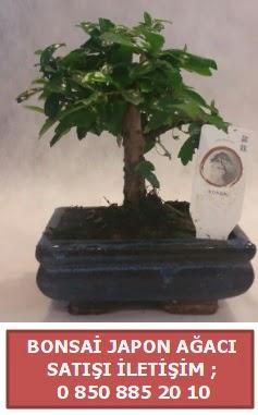 Japon ağacı minyaür bonsai satışı  Eskişehir çiçek satışı