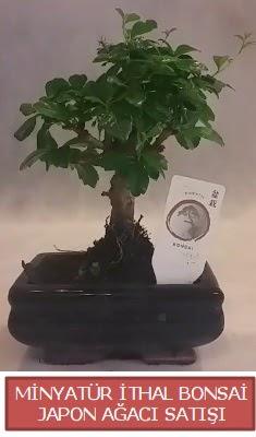 Küçük görsel bonsai japon ağacı bitkisi  Eskişehir çiçek , çiçekçi , çiçekçilik