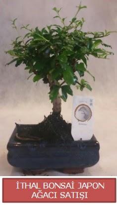 İthal küçük boy minyatür bonsai ağaç bitkisi  Eskişehir çiçekçi telefonları