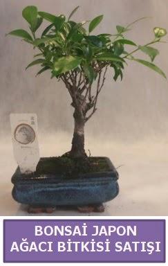 İthal Bonsai japon ağacı bitkisi satışı  Eskişehir İnternetten çiçek siparişi