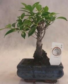 Bonsai ağacı japon ağaç bitkisi  Eskişehir çiçek yolla