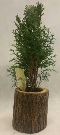 SINIRLI STOK Selvi Bonsai Doğal kütükte  Eskişehir İnternetten çiçek siparişi