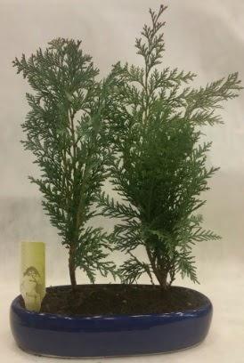 SINIRLI SAYIDA Selvi Ağacı bonsai ikili  Eskişehir çiçekçi telefonları