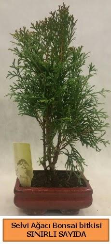 Selvi ağacı bonsai japon ağacı bitkisi  Eskişehir çiçek satışı