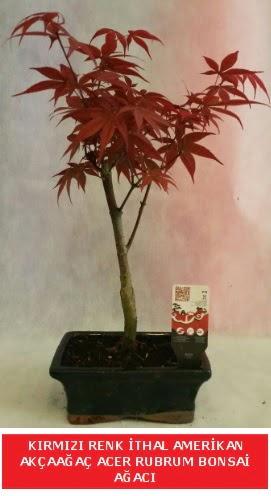 İTHAL ACER RUBRUM BONSAİ AĞACI  Eskişehir çiçek gönderme sitemiz güvenlidir