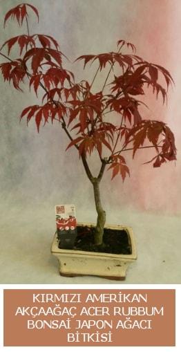 Amerikan akçaağaç Acer Rubrum bonsai  Eskişehir uluslararası çiçek gönderme