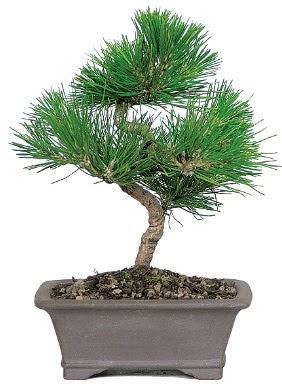 Çam ağacı bonsai japon ağacı bitkisi  Eskişehir çiçek gönderme