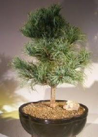 Çam ağacı bonsai bitkisi satışı  Eskişehir ucuz çiçek gönder