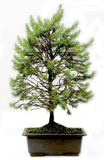 *** STOKTA YOK - Çam ağacı bonsai bitkisi satışı  Eskişehir cicekciler , cicek siparisi