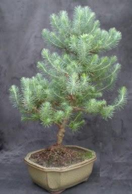 Bonsai çam ağacı japon ağacı bitkisi  Eskişehir çiçek gönderme sitemiz güvenlidir