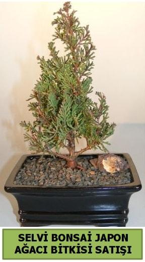 Selvi çam japon ağacı bitkisi bonsai  Eskişehir çiçekçi telefonları
