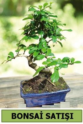 Çam bonsai japon ağacı satışı  Eskişehir çiçek satışı