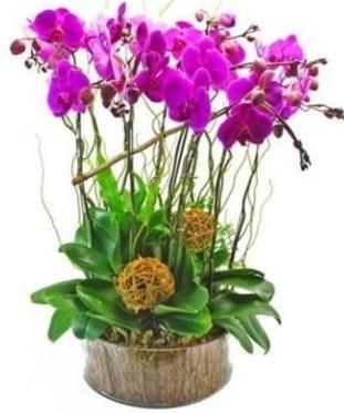 Ahşap kütükte lila mor orkide 8 li  Eskişehir internetten çiçek satışı