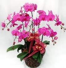 Sepet içerisinde 5 dallı lila orkide  Eskişehir ucuz çiçek gönder