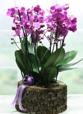 Kütük içerisinde 6 dallı mor orkide  Eskişehir ucuz çiçek gönder